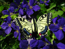 koninginnepage vlinder