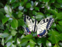 koninginnepage vlinder_