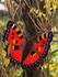 kleine vos vlinder_
